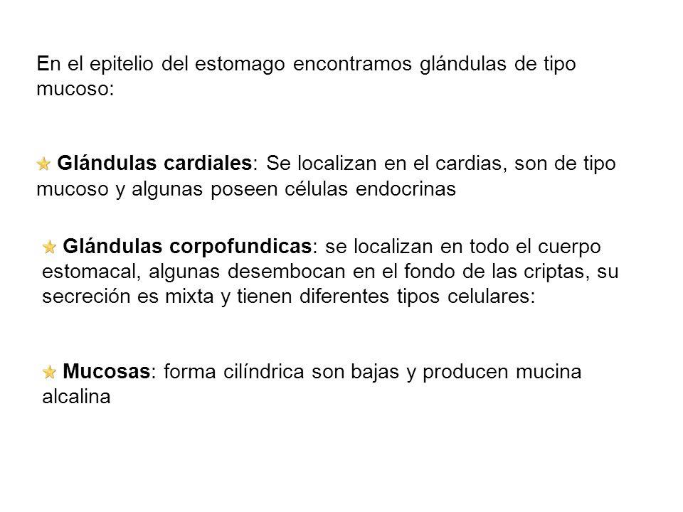 En el epitelio del estomago encontramos glándulas de tipo mucoso: Glándulas cardiales: Se localizan en el cardias, son de tipo mucoso y algunas poseen