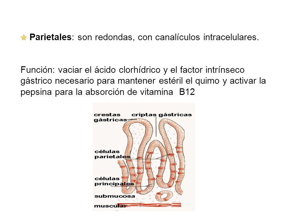 Parietales: son redondas, con canalículos intracelulares. Función: vaciar el ácido clorhídrico y el factor intrínseco gástrico necesario para mantener