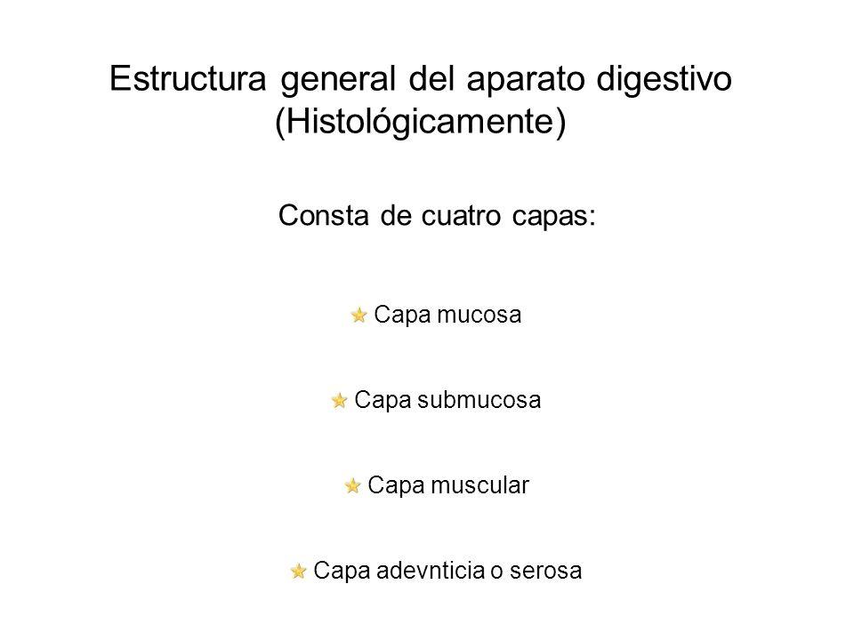 Estructura general del aparato digestivo (Histológicamente) Consta de cuatro capas: Capa mucosa Capa submucosa Capa muscular Capa adevnticia o serosa