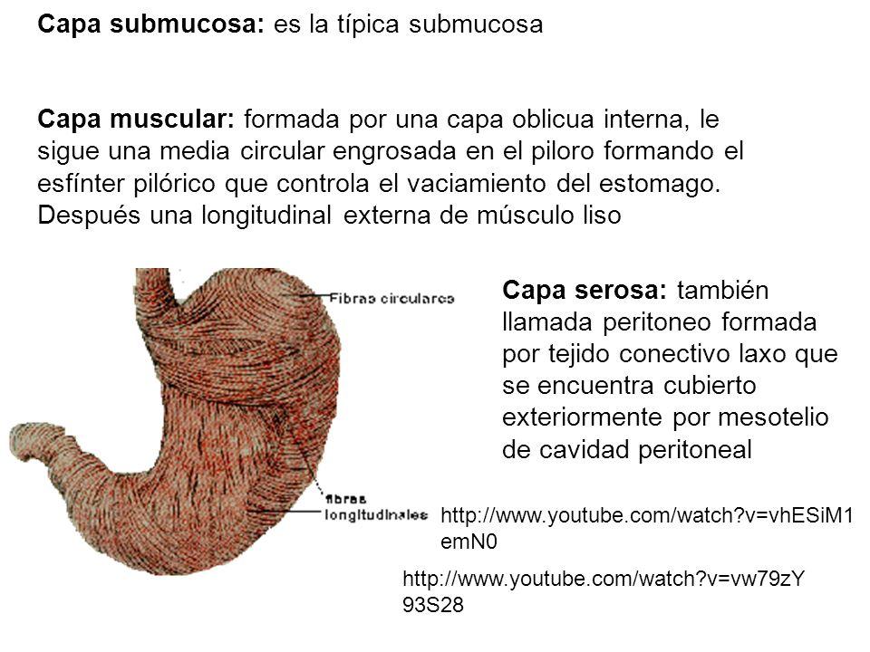 Capa submucosa: es la típica submucosa Capa muscular: formada por una capa oblicua interna, le sigue una media circular engrosada en el piloro formand