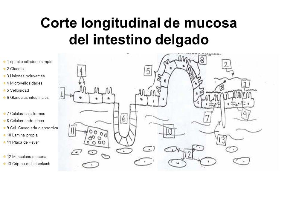 Corte longitudinal de mucosa del intestino delgado 1 epitelio cilíndrico simple 2 Glucolix 3 Uniones ocluyentes 4 Microvellosidades 5 Vellosidad 6 Glá