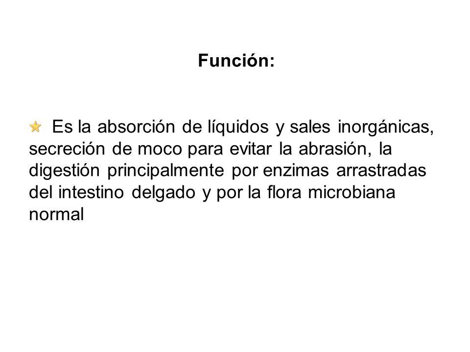 Función: Es la absorción de líquidos y sales inorgánicas, secreción de moco para evitar la abrasión, la digestión principalmente por enzimas arrastrad
