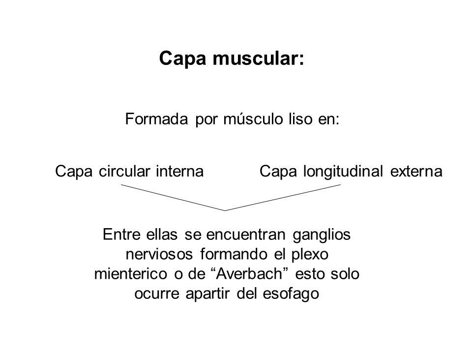 Capa muscular: Formada por músculo liso en: Capa circular internaCapa longitudinal externa Entre ellas se encuentran ganglios nerviosos formando el pl
