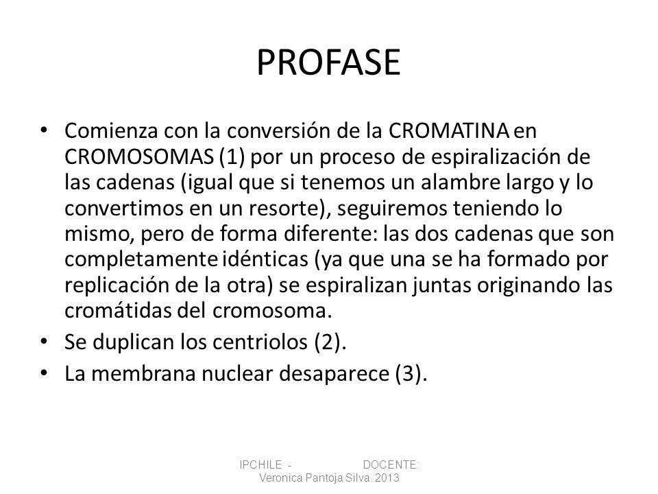 PROFASE Comienza con la conversión de la CROMATINA en CROMOSOMAS (1) por un proceso de espiralización de las cadenas (igual que si tenemos un alambre