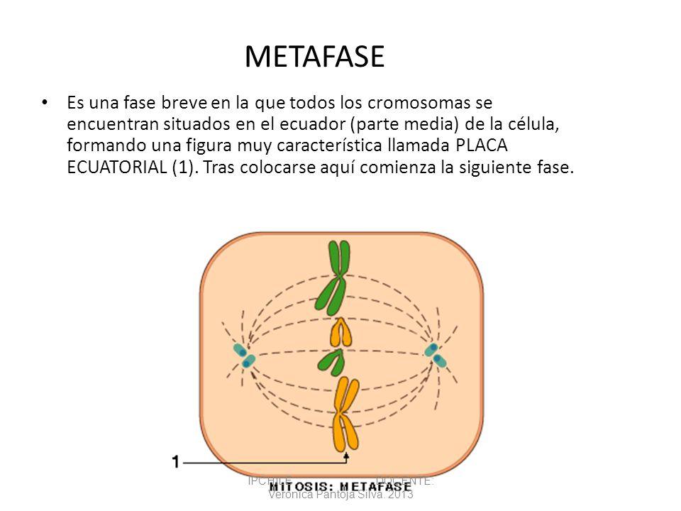 METAFASE Es una fase breve en la que todos los cromosomas se encuentran situados en el ecuador (parte media) de la célula, formando una figura muy car
