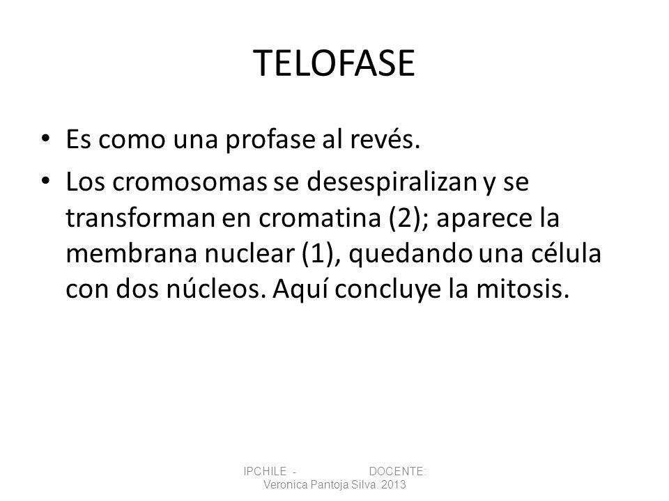 TELOFASE Es como una profase al revés. Los cromosomas se desespiralizan y se transforman en cromatina (2); aparece la membrana nuclear (1), quedando u