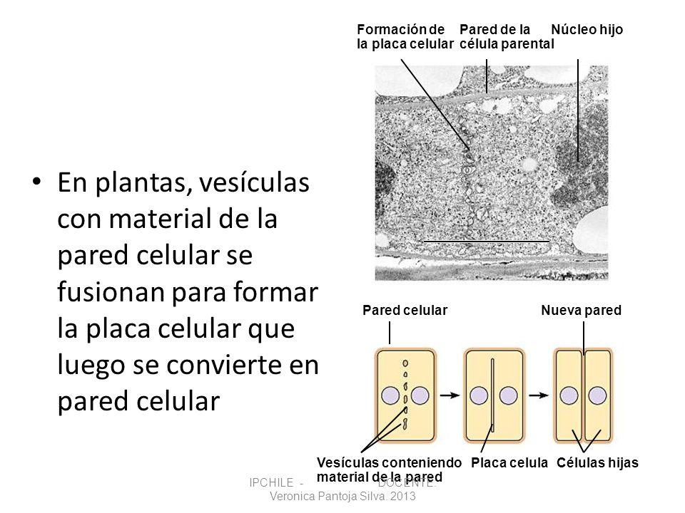 En plantas, vesículas con material de la pared celular se fusionan para formar la placa celular que luego se convierte en pared celular Vesículas cont