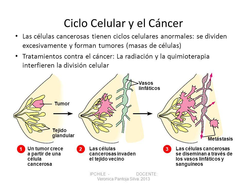 Ciclo Celular y el Cáncer Las células cancerosas tienen ciclos celulares anormales: se dividen excesivamente y forman tumores (masas de células) Trata
