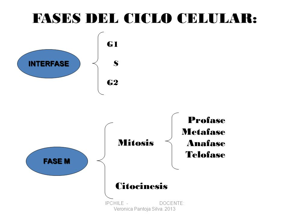 FASES DEL CICLO CELULAR: Citocinesis G1 S G2 Mitosis Profase Metafase Anafase Telofase INTERFASE FASE M IPCHILE - DOCENTE: Veronica Pantoja Silva. 201