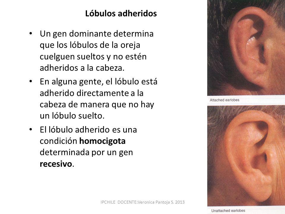 Lóbulos adheridos Un gen dominante determina que los lóbulos de la oreja cuelguen sueltos y no estén adheridos a la cabeza. En alguna gente, el lóbulo
