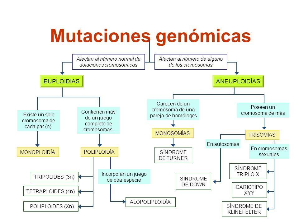 Mutaciones genómicas MONOPLOIDÍA Afectan al número normal de dotaciones cromosómicas Afectan al número de alguno de los cromosomas ALOPOLIPLOIDÍA Inco