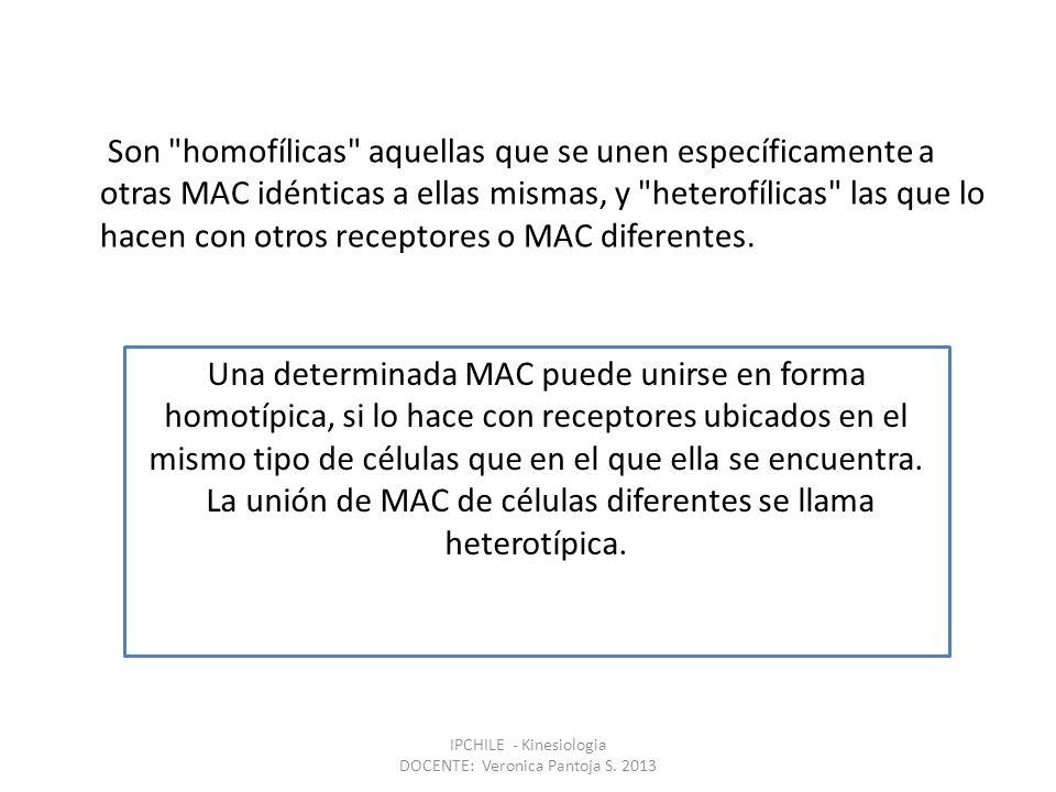 Son homofílicas aquellas que se unen específicamente a otras MAC idénticas a ellas mismas, y heterofílicas las que lo hacen con otros receptores o MAC diferentes.