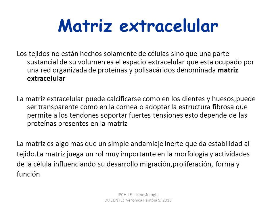 LA MATRIZ EXTRACELULAR IPCHILE - Kinesiologia DOCENTE: Veronica Pantoja S. 2013