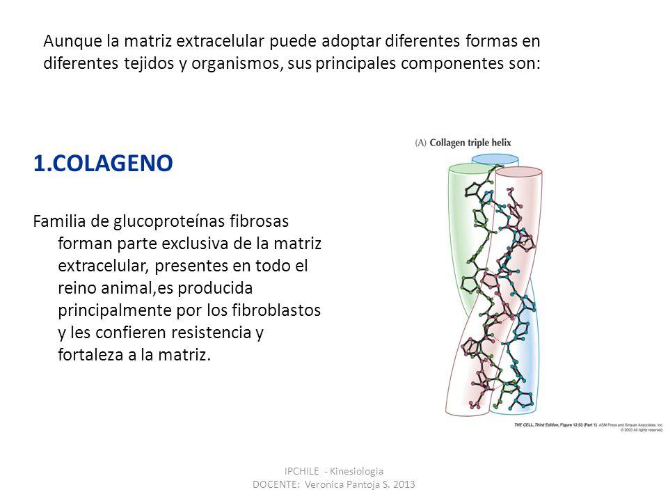2.PROTEOGLICANOS Consta de una proteína central a la cual se unen cadenas de glucosaminglicanos(GAG) que se compone de un disacárido repetitivo, estos GAG son muy ácidos debido a la presencia de grupos sulfatos y carboxilo unidos a los disacáridos.Los proteoglicanos le confieren la viscosidad característico de la matriz y forma un material de empaque para resistir fuerzas de comprensión.Los heparan sulfato proteoglicanos(HSPG) forma un puente entre los medios externos e internos de las células Estructura de un proteoglicano IPCHILE - Kinesiologia DOCENTE: Veronica Pantoja S.