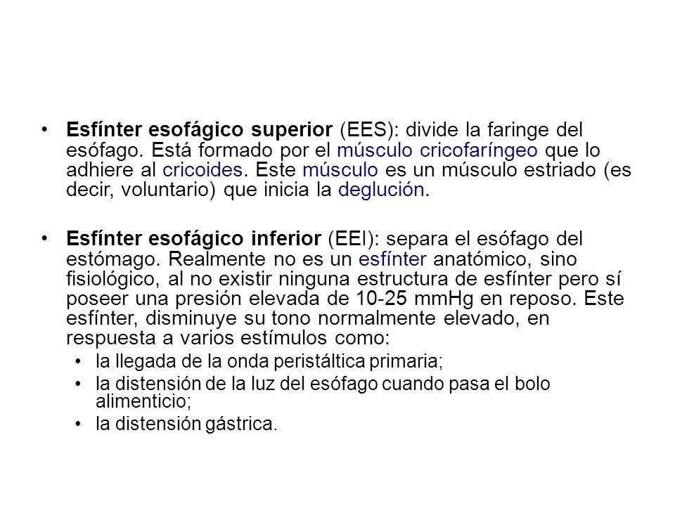 Esfínter esofágico superior (EES): divide la faringe del esófago. Está formado por el músculo cricofaríngeo que lo adhiere al cricoides. Este músculo