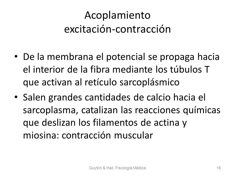 Acoplamiento excitación-contracción De la membrana el potencial se propaga hacia el interior de la fibra mediante los túbulos T que activan al retícul
