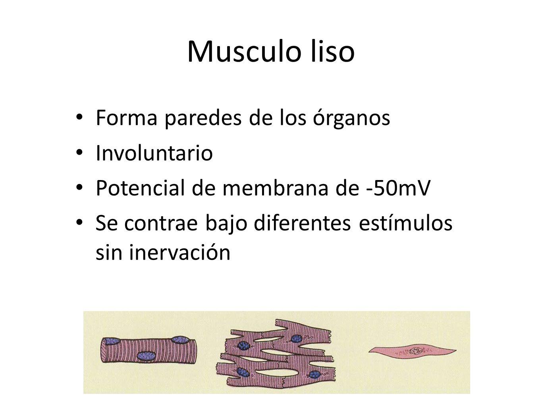 Musculo liso Forma paredes de los órganos Involuntario Potencial de membrana de -50mV Se contrae bajo diferentes estímulos sin inervación