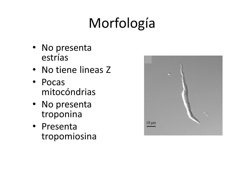 Morfología No presenta estrías No tiene lineas Z Pocas mitocóndrias No presenta troponina Presenta tropomiosina GANONG, Willian F., Fisiología Humana