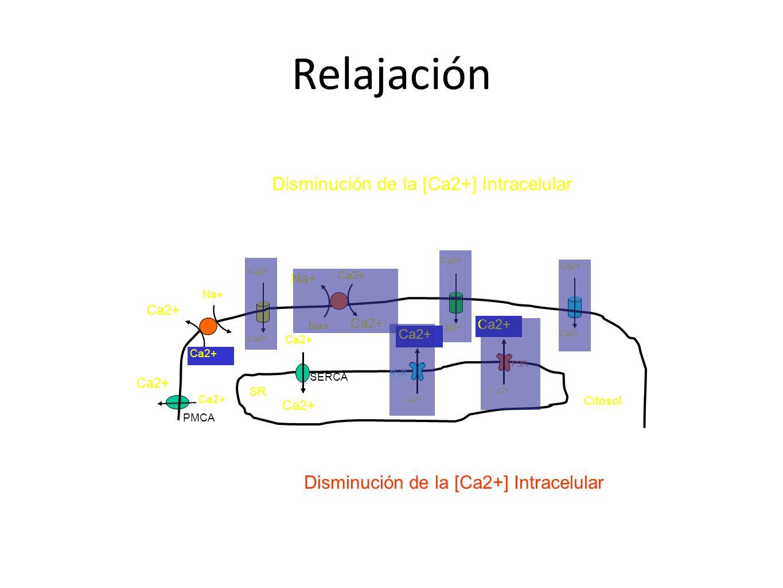 Relajación Disminución de la [Ca2+] Intracelular Ca2+ Citosol Disminución de la [Ca2+] Intracelular PMCA Ca2+ SR Ca2+ SERCA Ca2+ Na+ Ca2+ RyR Ca2+ IP3