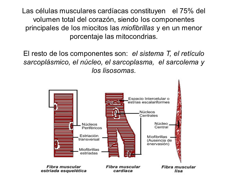 Las células musculares cardíacas constituyen el 75% del volumen total del corazón, siendo los componentes principales de los miocitos las miofibrillas