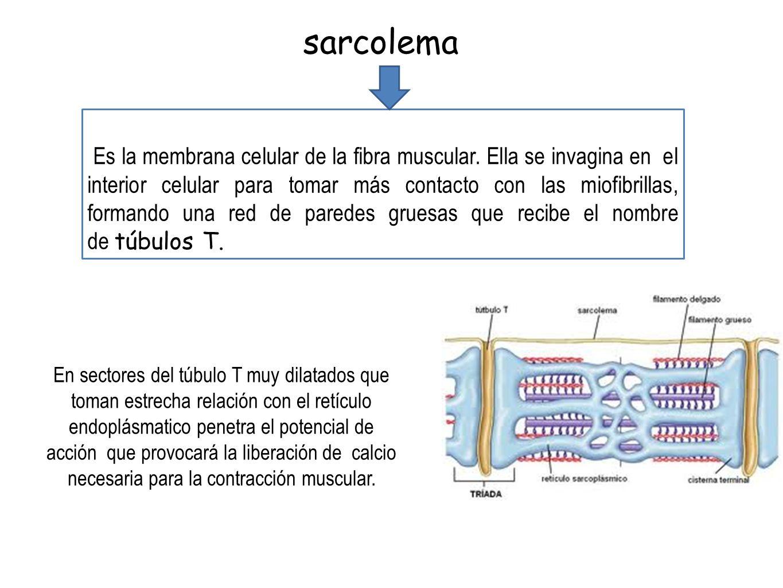 Es la membrana celular de la fibra muscular. Ella se invagina en el interior celular para tomar más contacto con las miofibrillas, formando una red de