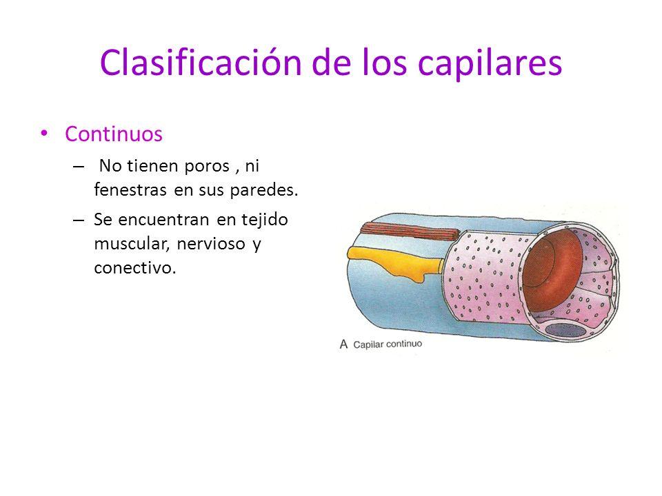 Clasificación de los capilares Continuos – No tienen poros, ni fenestras en sus paredes. – Se encuentran en tejido muscular, nervioso y conectivo.
