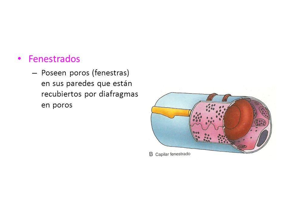 Fenestrados – Poseen poros (fenestras) en sus paredes que están recubiertos por diafragmas en poros