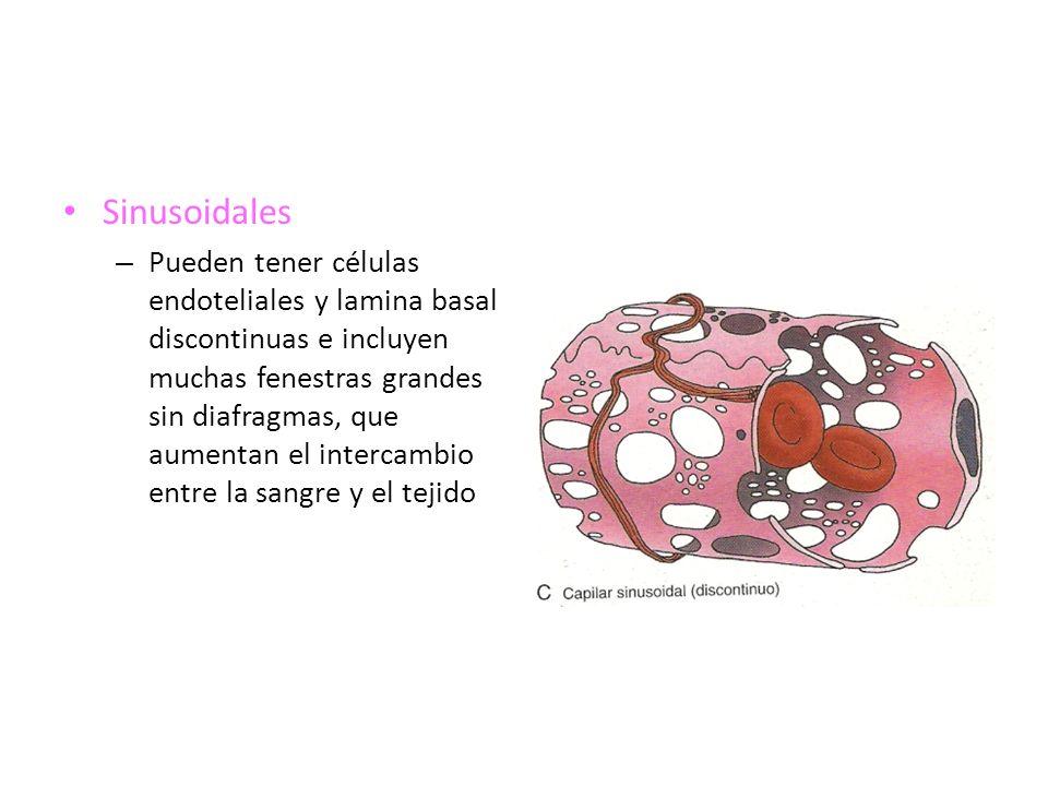 Sinusoidales – Pueden tener células endoteliales y lamina basal discontinuas e incluyen muchas fenestras grandes sin diafragmas, que aumentan el inter