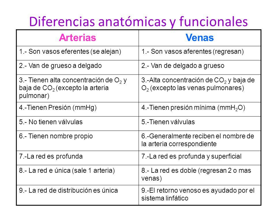 Diferencias anatómicas y funcionales ArteriasVenas 1.- Son vasos eferentes (se alejan)1.- Son vasos aferentes (regresan) 2.- Van de grueso a delgado2.