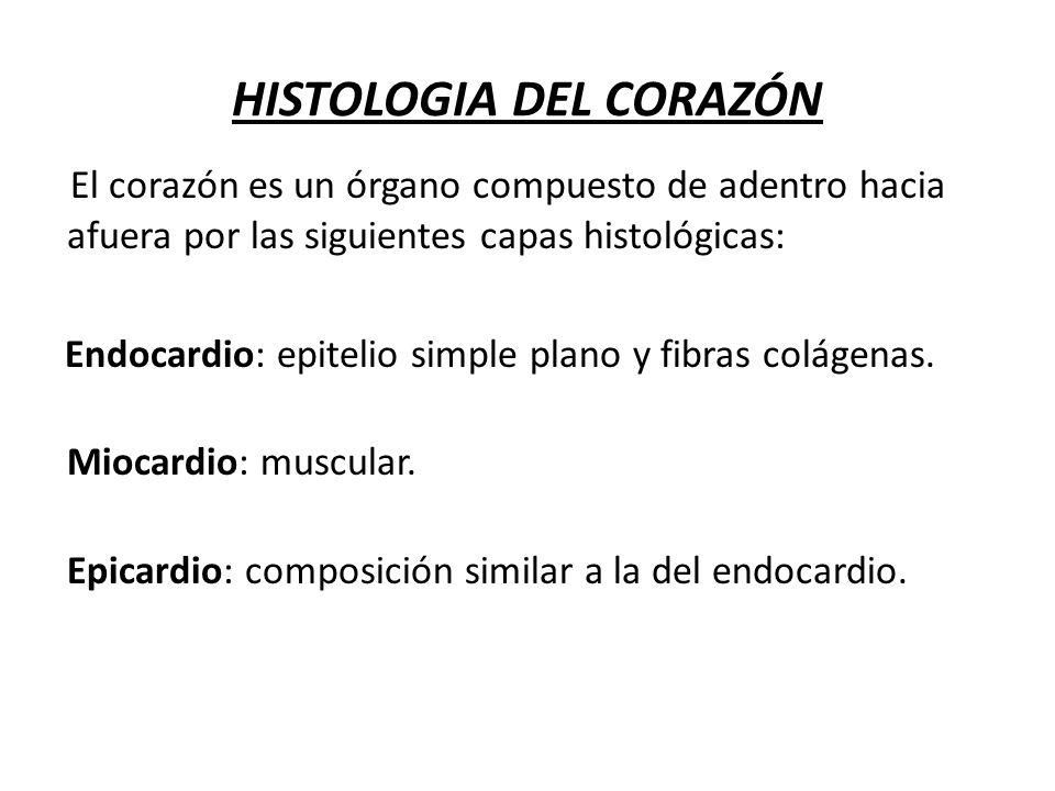 HISTOLOGIA DEL CORAZÓN El corazón es un órgano compuesto de adentro hacia afuera por las siguientes capas histológicas: Endocardio: epitelio simple pl