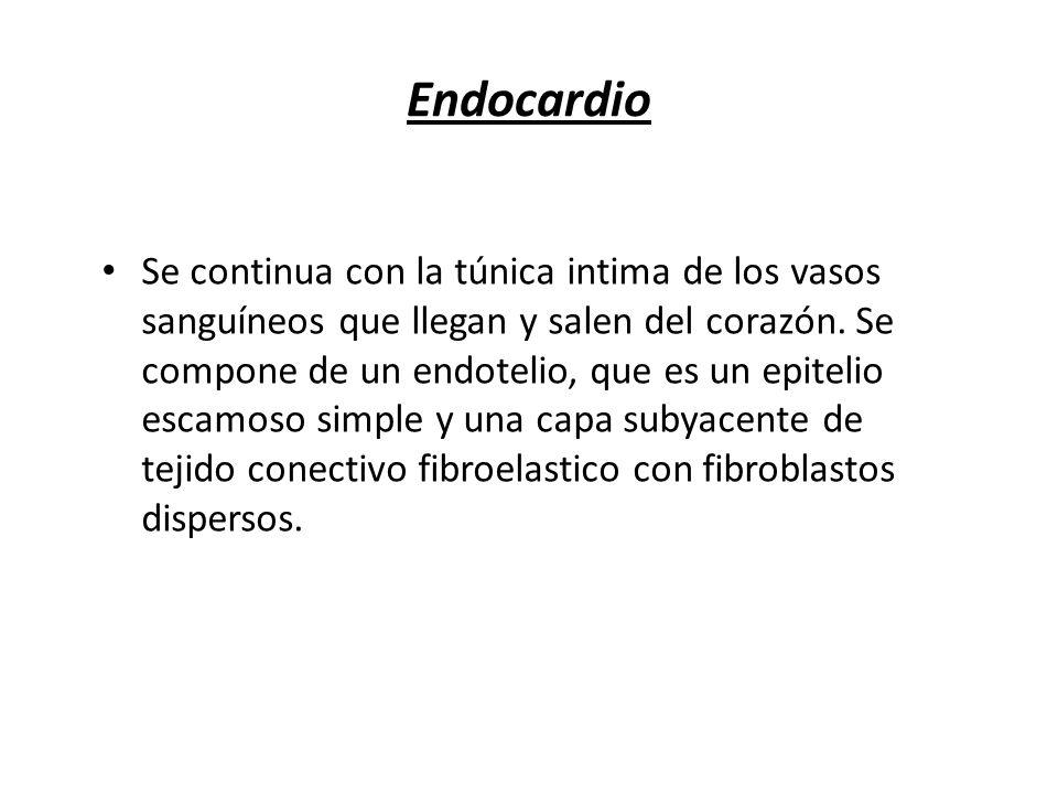 Endocardio Se continua con la túnica intima de los vasos sanguíneos que llegan y salen del corazón. Se compone de un endotelio, que es un epitelio esc