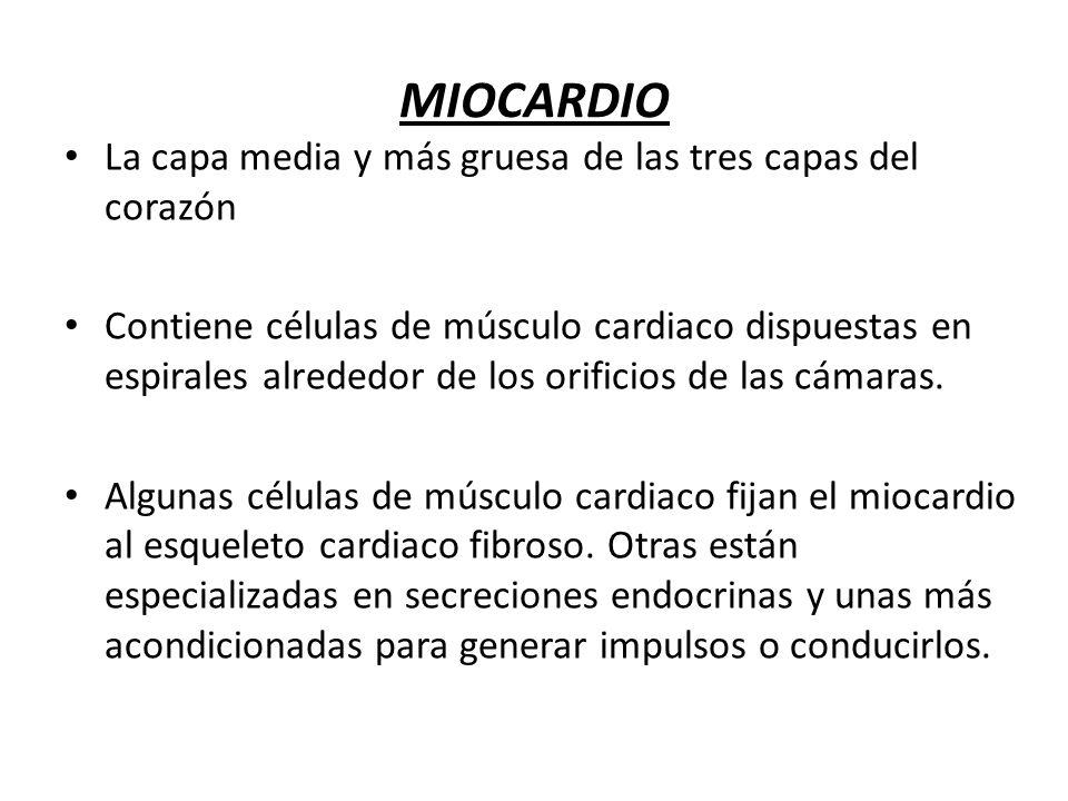 MIOCARDIO La capa media y más gruesa de las tres capas del corazón Contiene células de músculo cardiaco dispuestas en espirales alrededor de los orifi