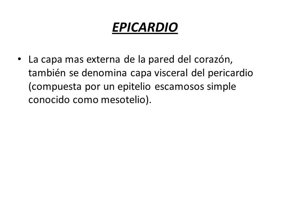 EPICARDIO La capa mas externa de la pared del corazón, también se denomina capa visceral del pericardio (compuesta por un epitelio escamosos simple co