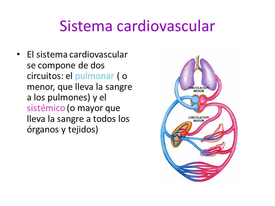 Sistema cardiovascular El sistema cardiovascular se compone de dos circuitos: el pulmonar ( o menor, que lleva la sangre a los pulmones) y el sistémic