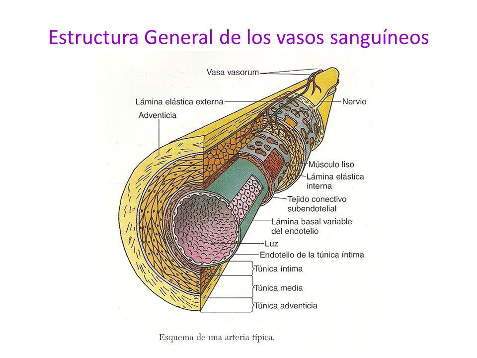 Por lo general las arterias tienen paredes mas gruesas y son de diámetro mas pequeño que sus equivalentes venosos.