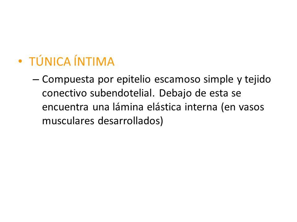 TÚNICA ÍNTIMA – Compuesta por epitelio escamoso simple y tejido conectivo subendotelial. Debajo de esta se encuentra una lámina elástica interna (en v