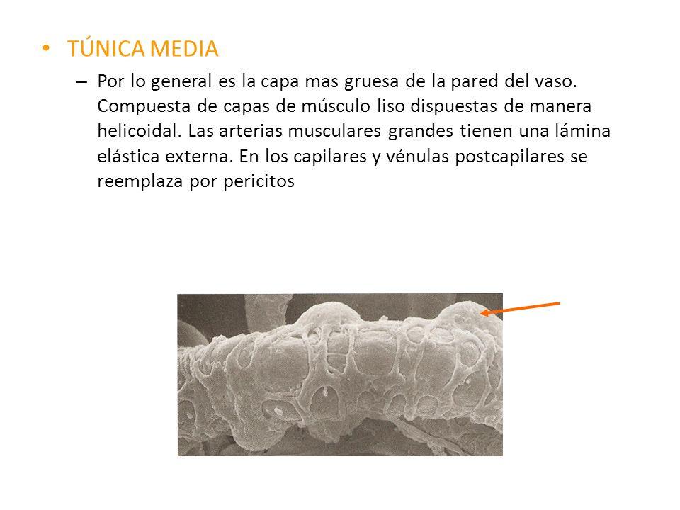 TÚNICA MEDIA – Por lo general es la capa mas gruesa de la pared del vaso. Compuesta de capas de músculo liso dispuestas de manera helicoidal. Las arte