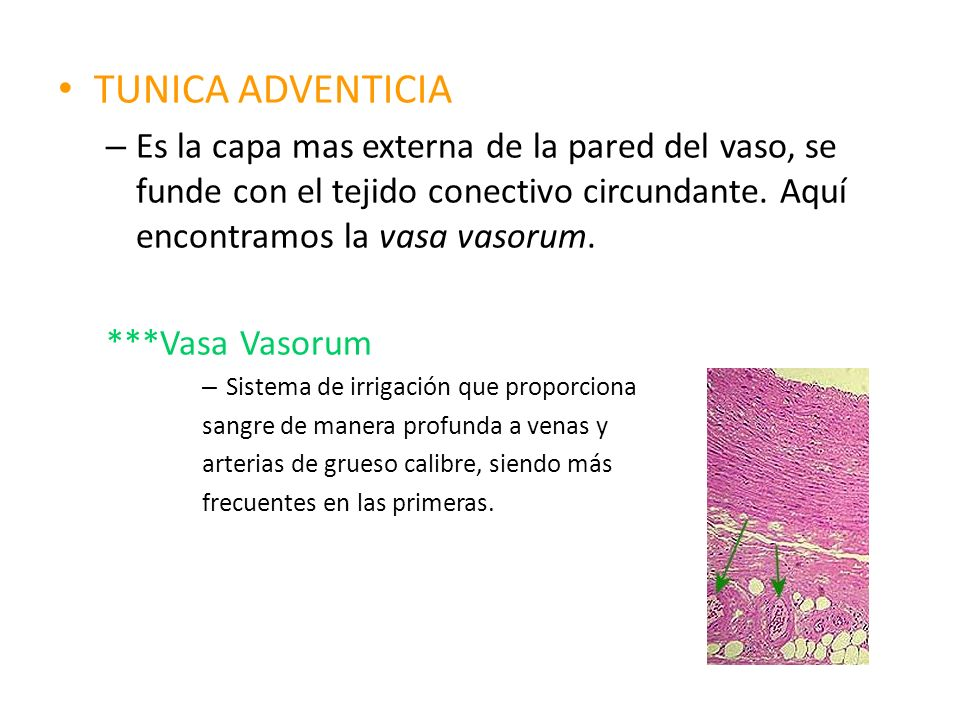 TUNICA ADVENTICIA – Es la capa mas externa de la pared del vaso, se funde con el tejido conectivo circundante. Aquí encontramos la vasa vasorum. ***Va