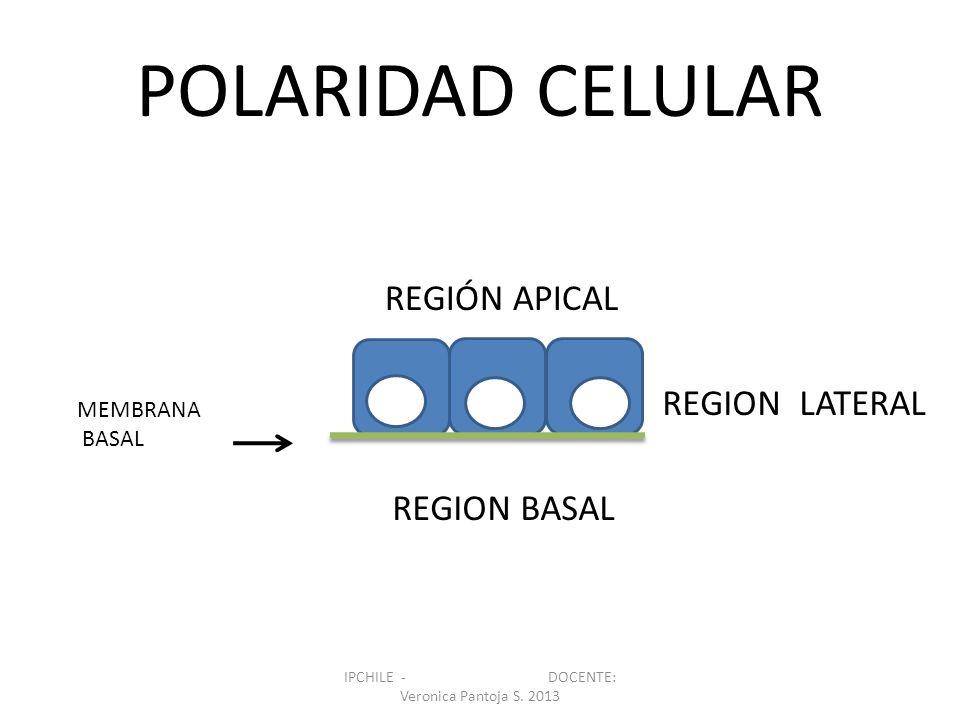 POLARIDAD CELULAR v REGIÓN APICAL REGION LATERAL REGION BASAL MEMBRANA BASAL IPCHILE - DOCENTE: Veronica Pantoja S. 2013