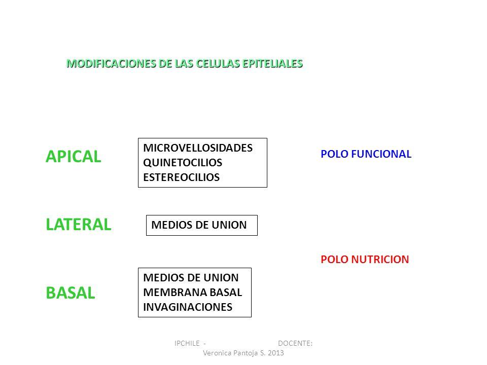 MODIFICACIONES DE LAS CELULAS EPITELIALES APICAL LATERAL BASAL MICROVELLOSIDADES QUINETOCILIOS ESTEREOCILIOS MEDIOS DE UNION MEMBRANA BASAL INVAGINACI