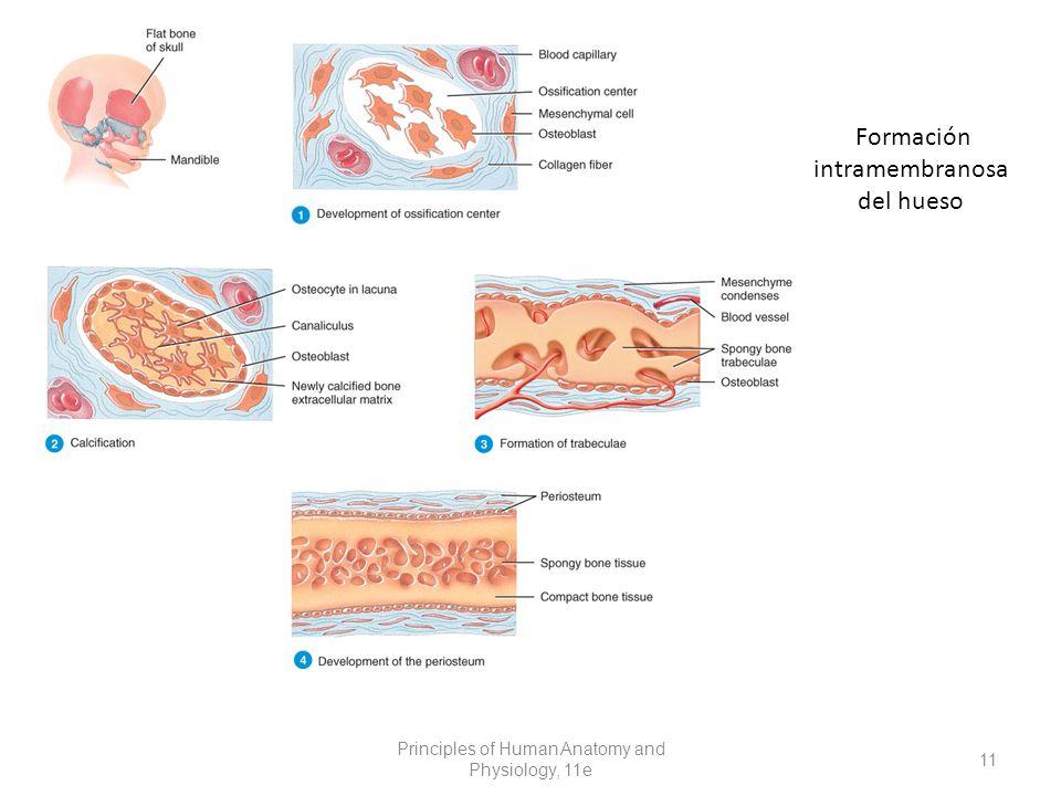 Formación intramembranosa del hueso Principles of Human Anatomy and Physiology, 11e 11