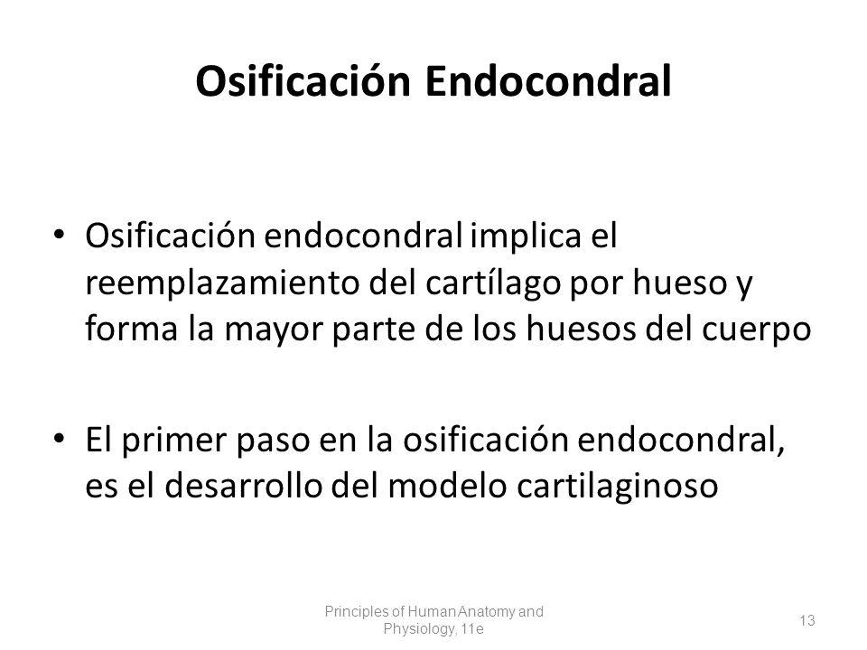 Osificación endocondral implica el reemplazamiento del cartílago por hueso y forma la mayor parte de los huesos del cuerpo El primer paso en la osificación endocondral, es el desarrollo del modelo cartilaginoso Principles of Human Anatomy and Physiology, 11e 13 Osificación Endocondral
