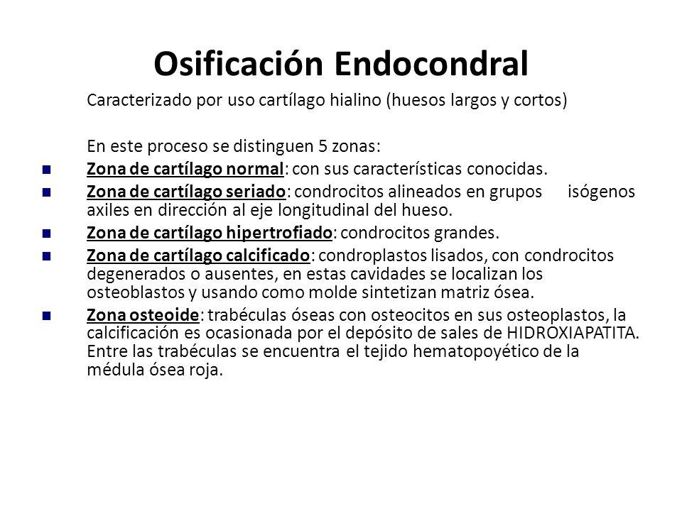 Caracterizado por uso cartílago hialino (huesos largos y cortos) En este proceso se distinguen 5 zonas: Zona de cartílago normal: con sus característi