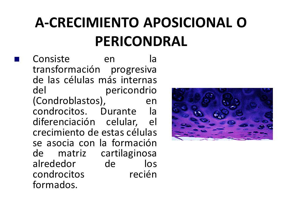 A-CRECIMIENTO APOSICIONAL O PERICONDRAL Consiste en la transformación progresiva de las células más internas del pericondrio (Condroblastos), en condrocitos.