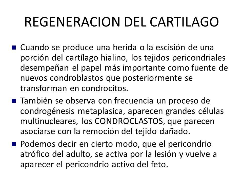 REGENERACION DEL CARTILAGO Cuando se produce una herida o la escisión de una porción del cartílago hialino, los tejidos pericondriales desempeñan el papel más importante como fuente de nuevos condroblastos que posteriormente se transforman en condrocitos.