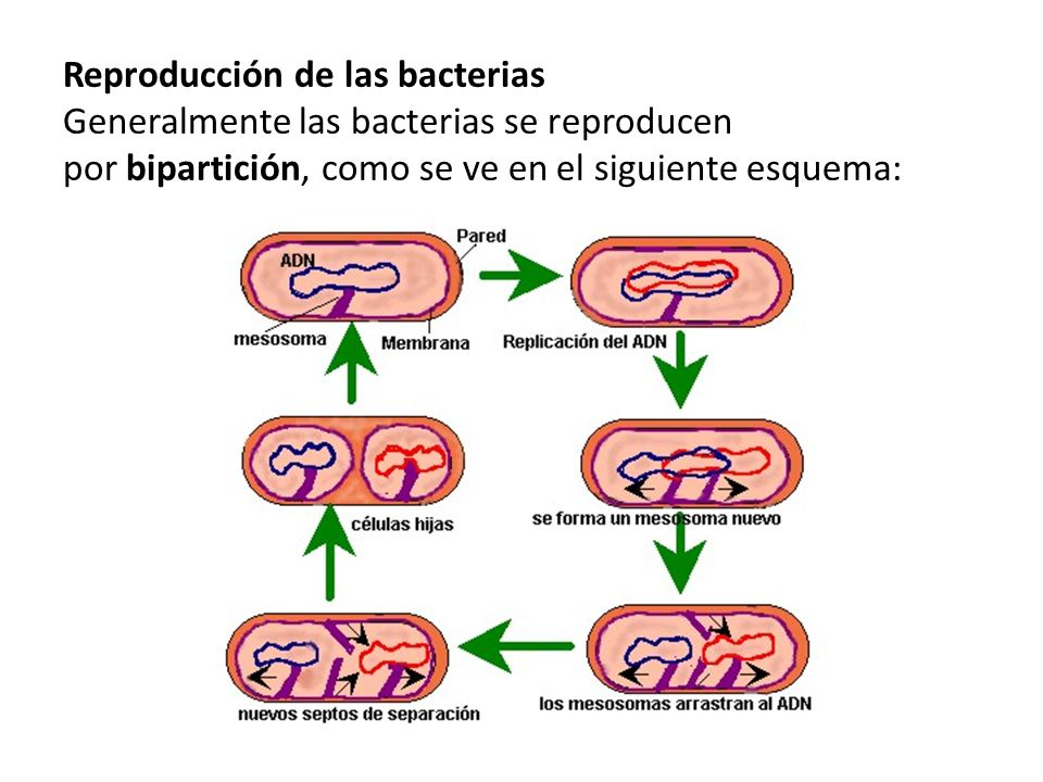 Reproducción de las bacterias Generalmente las bacterias se reproducen por bipartición, como se ve en el siguiente esquema: