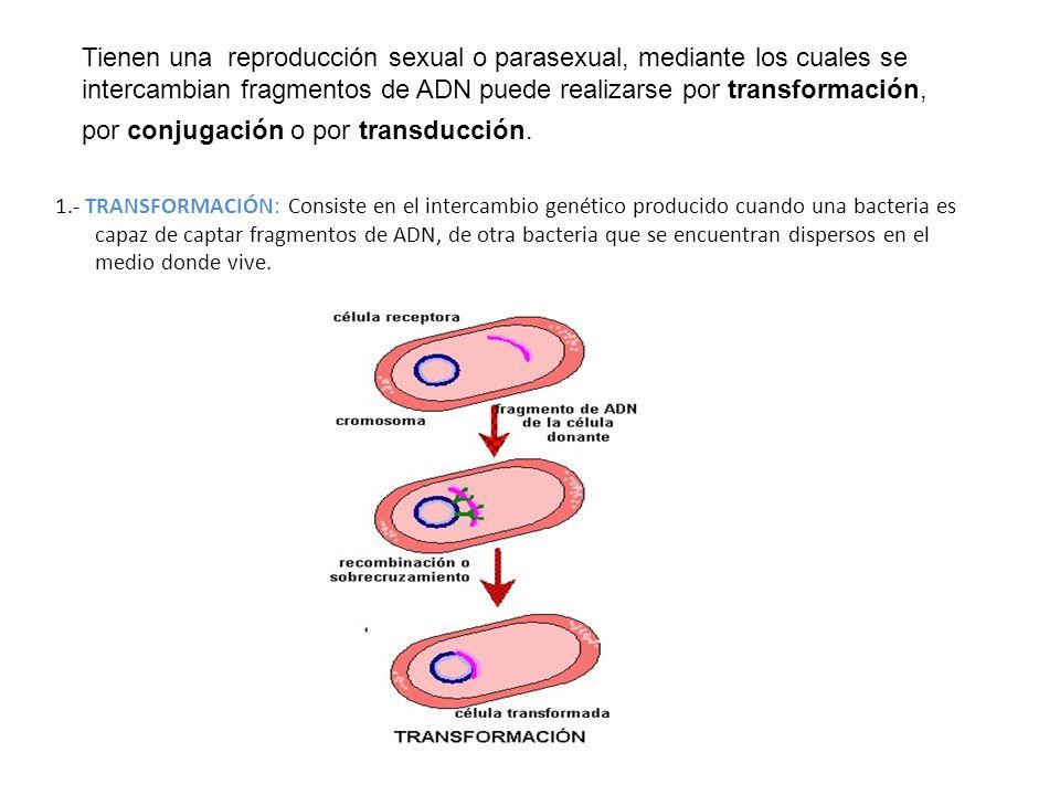 1.- TRANSFORMACIÓN: Consiste en el intercambio genético producido cuando una bacteria es capaz de captar fragmentos de ADN, de otra bacteria que se en