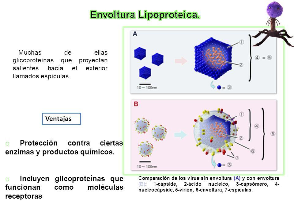 Comparación de los virus sin envoltura (A) y con envoltura (B): 1-cápside, 2-ácido nucleico, 3-capsómero, 4- nucleocápside, 5-virión, 6-envoltura, 7-e