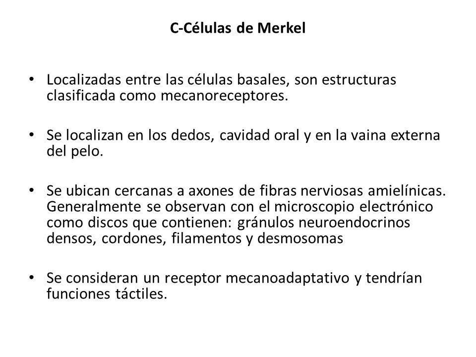 C-Células de Merkel Localizadas entre las células basales, son estructuras clasificada como mecanoreceptores. Se localizan en los dedos, cavidad oral