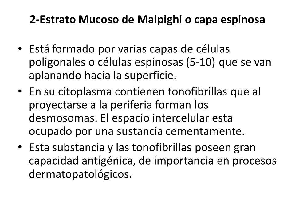 2-Estrato Mucoso de Malpighi o capa espinosa Está formado por varias capas de células poligonales o células espinosas (5-10) que se van aplanando haci